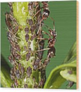 Ant Formicidae Pair Protecting Aphids Wood Print