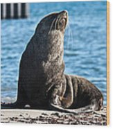Antarctic Fur Seal 06 Wood Print