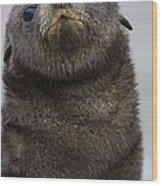 Antarctic Fur Seal Arctocephalus Wood Print