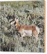 Antelope In Lamar Valley Wood Print