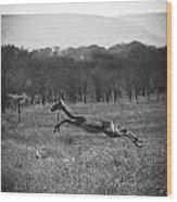 Antelope Jumping In Full Stride Wood Print