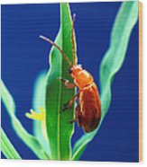 Aphthona Flava Flea Beetle On Leafy Wood Print