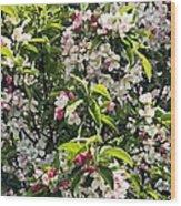 Apple Blossom (malus 'pom Zai') Wood Print