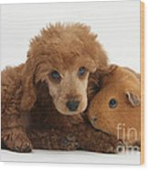 Apricot Miniature Poodle Pup With Red Wood Print