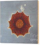 Arcella Dentata Lm Wood Print