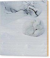 Arctic Fox Alopex Lagopus Curled Wood Print