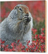 Arctic Ground Squirrel Wood Print