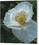 Arctic Poppy Wood Print