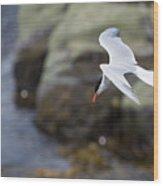 Arctic Tern (sterna Paradisaea) Wood Print