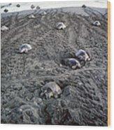 Arribada Of Olive Ridley Turtles, Costa Wood Print