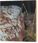 Arrow Crab And Parrotfish, Belize Wood Print