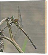 Arrowhead Spiketail Dragonfly - Cordulegaster Obliqua Wood Print