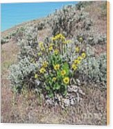 Arrowleaf Balsamroot Wood Print