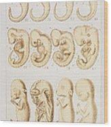Artwork Of Embryonic Development, 1891 Wood Print