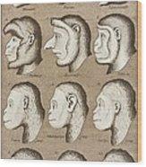 Artwork Of Twelve Catarrhines, 1870 Wood Print by Mehau Kulyk
