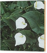 Arum Lily (zantedeschia Aethiopica) Wood Print