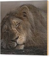 Asian Lion Panthera Leo Persica Wood Print