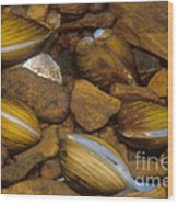 Asiatic Clam Wood Print