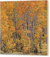 Aspen Forest In Fall - Wasatch Mountains - Utah Wood Print