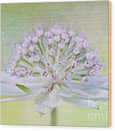 Astrantia Art Wood Print by Jacky Parker