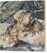 Atlantic Octopus In Shell Debris Wood Print