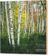 Autumn Birch Grove Wood Print
