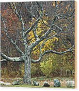Autumn Grandfather Tree 2 Wood Print
