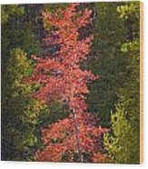 Autumn Scene Of Colorful Red Tree Along The Little Manistee River In Michigan No. 0902 Wood Print