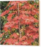 Autumnal Acer Wood Print