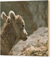 Baby Big Horn Sheep Wood Print