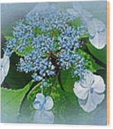 Baby Blue Lace Cap Hydrangea Wood Print