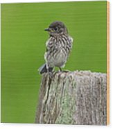 Baby Bluebird On Post Wood Print
