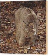 Baby Canada Lynx Stalking A Squirrel Wood Print