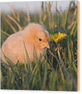 Baby Chick In Green Grass Wood Print by Cindy Singleton