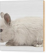 Baby Colorpoint Rabbit Wood Print