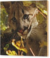 Baby Cougar Playing Peek A Boo In Autumn Forest Wood Print