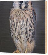 Baby Kestrel Falcon Wood Print