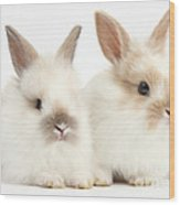 Baby Lionhead-lop Bunnies Wood Print
