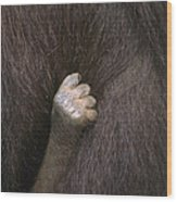 Baby Orangutan Grasping Mother's Fur Wood Print