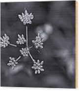 Baby Queen Anne's Lace Monochrome Wood Print