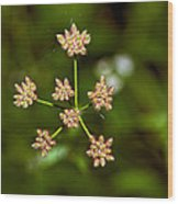 Baby Queen Anne's Lace Wood Print