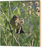 Baby Red Wing Black Bird Calling For Mother Wood Print