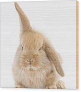 Baby Sandy Lop Rabbit Wood Print