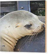 Baby Seal Wood Print
