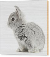 Baby Silver Rabbit Wood Print