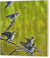 Baby Tree Swallows Feeding #1 Wood Print