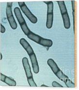 Bacillus Megaterium Wood Print