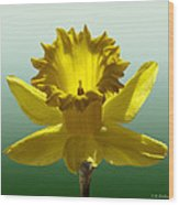 Backlit Daffodil Wood Print