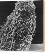 Bacteria On Sorghum Root Tip Wood Print