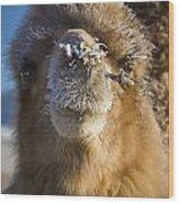Bactrian Camel Camelus Bactrianus Wood Print